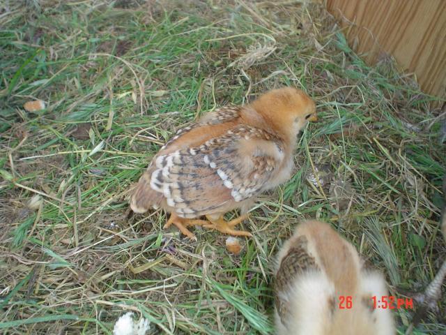 http://www.backyardchickens.com/forum/uploads/76257_dsc07040.jpg