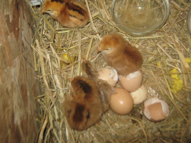 http://www.backyardchickens.com/forum/uploads/76257_img_0737.jpg