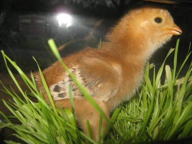 http://www.backyardchickens.com/forum/uploads/76257_img_0745.jpg