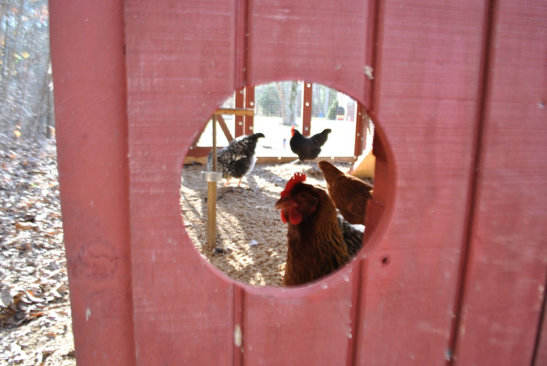http://www.backyardchickens.com/forum/uploads/76677_dsc_0401.jpg