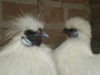 http://www.backyardchickens.com/forum/uploads/77171_dscn5918.jpg