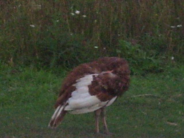 http://www.backyardchickens.com/forum/uploads/78476_106.jpg