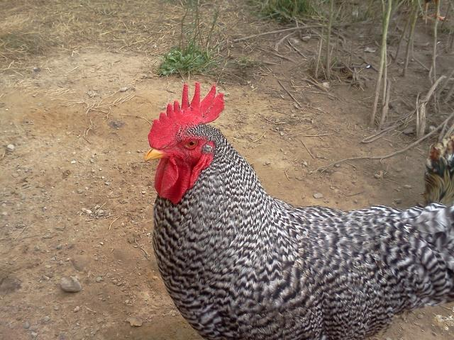 http://www.backyardchickens.com/forum/uploads/78707_img_20110723_180700.jpg