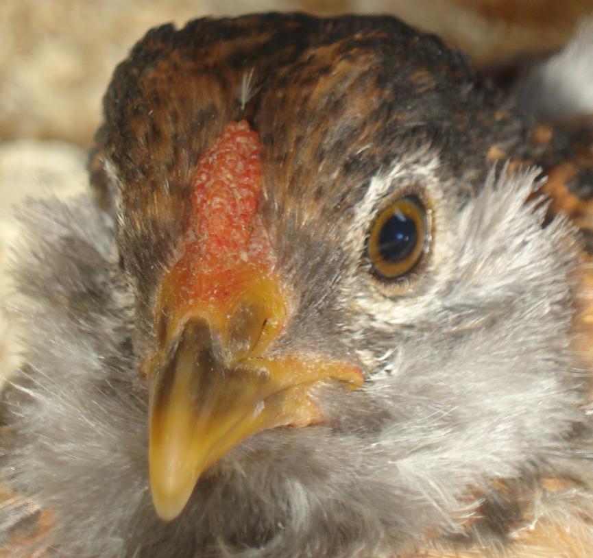 http://www.backyardchickens.com/forum/uploads/79408_newbies6.jpg