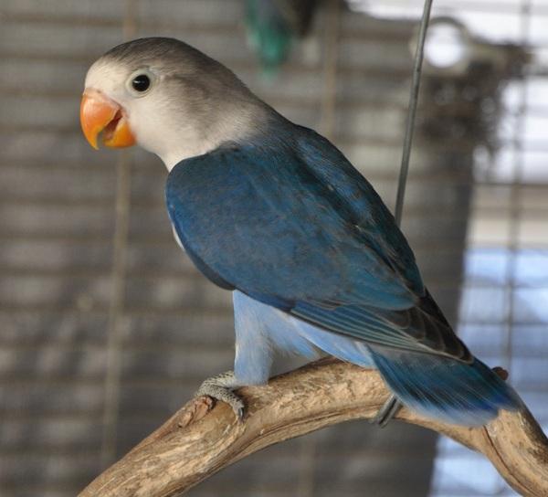Lovebird biru - photo#37