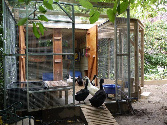 Need ideas duck houses backyard chickens for Duck hutch plans