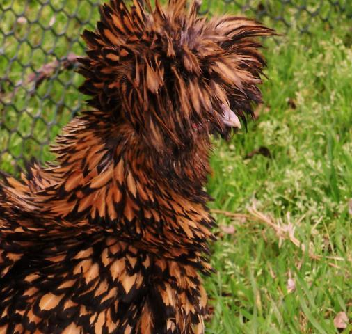 What Is My Paypal Email >> 6 Frizzle & Smooth Gold Laced Polish Bantam Hatching Eggs ...