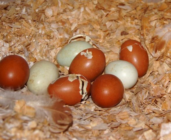 8175_fresh_eggs-baby_chicks_018.jpg