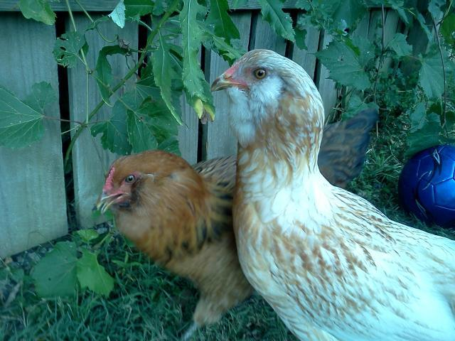 http://www.backyardchickens.com/forum/uploads/81976_img_20110722_195906.jpg