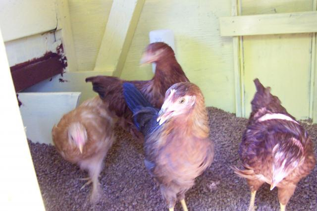 Nugget, Teriayki, Lucy and Ethel