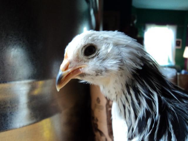 http://www.backyardchickens.com/forum/uploads/83336_roomebbe4.jpg