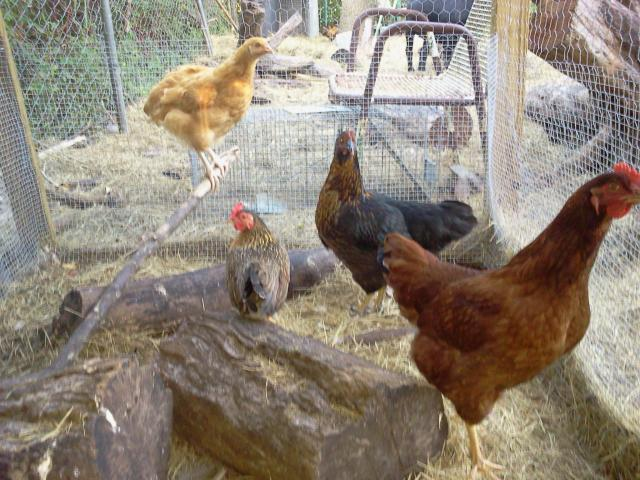http://www.backyardchickens.com/forum/uploads/83678_2011-07-29_192127.jpg