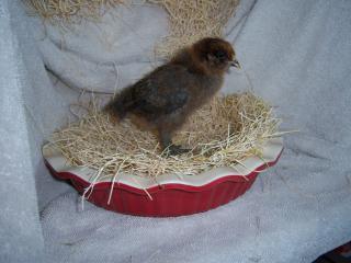 http://www.backyardchickens.com/forum/uploads/84860_camera_apr_11_167.jpg