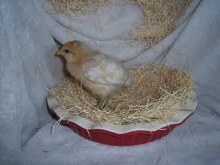 http://www.backyardchickens.com/forum/uploads/84860_camera_apr_11_170.jpg