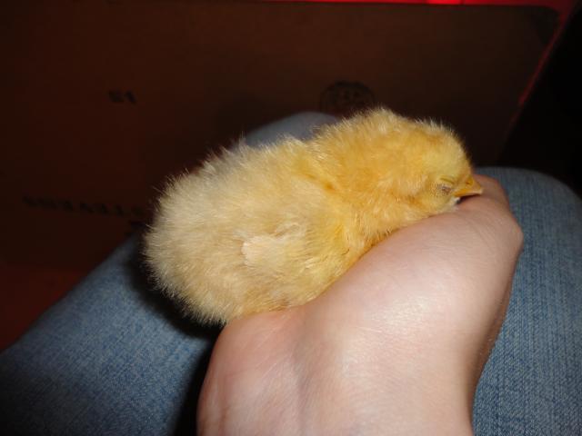 http://www.backyardchickens.com/forum/uploads/84948_dsc00042.jpg