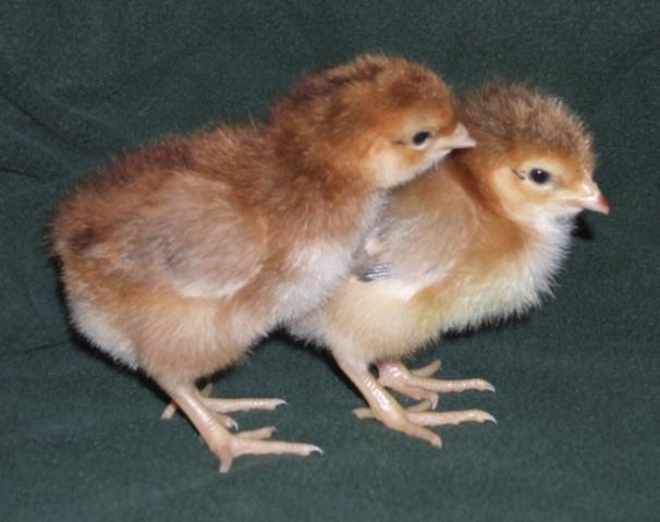 8568_chicks2.jpg