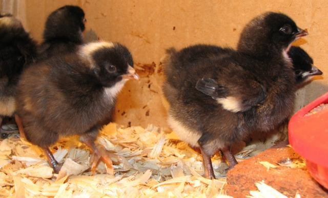 http://www.backyardchickens.com/forum/uploads/85732_black_tsc_mystery_chicks_004.jpg