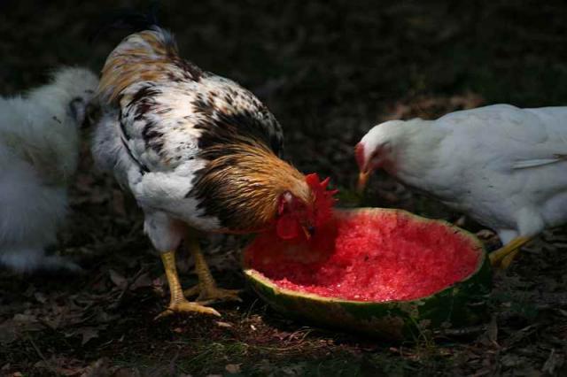 86182_chicken_001a.jpg