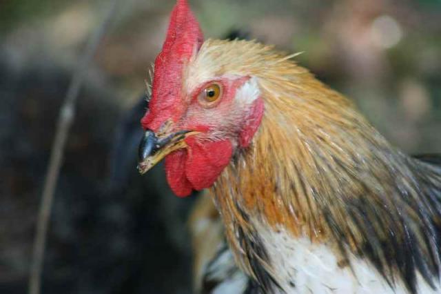 86182_chicken_012a.jpg