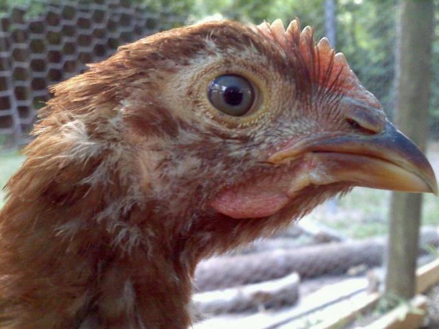 http://www.backyardchickens.com/forum/uploads/86965_nugget.jpg