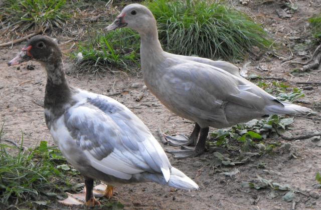 88080_two_ducks.jpg
