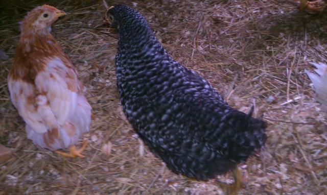 88467_chicken2.jpg