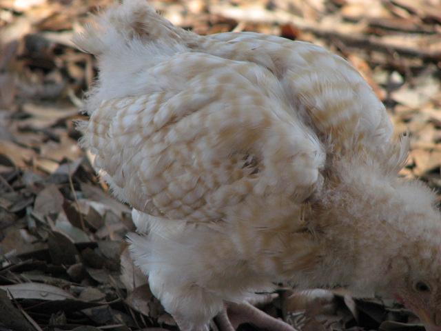 http://www.backyardchickens.com/forum/uploads/88585_img_2819.jpg