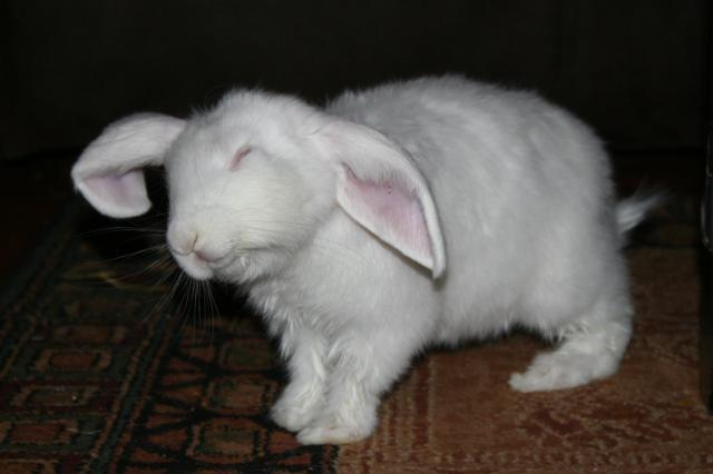 Pictures Of Fat Bunnies 98
