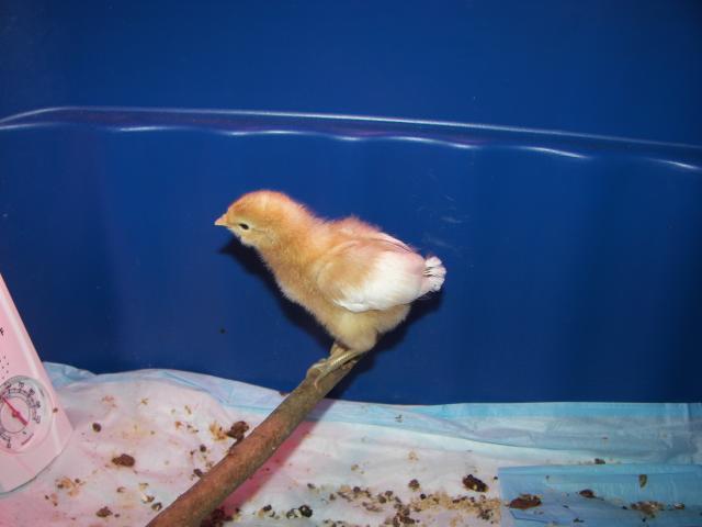 http://www.backyardchickens.com/forum/uploads/88804_024.jpg