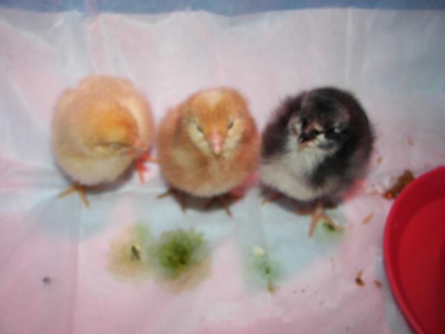http://www.backyardchickens.com/forum/uploads/88804_093.jpg