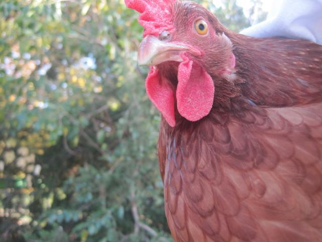 http://www.backyardchickens.com/forum/uploads/89747_img_19491.jpg