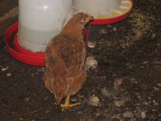 Production Red Roo or Pullet?