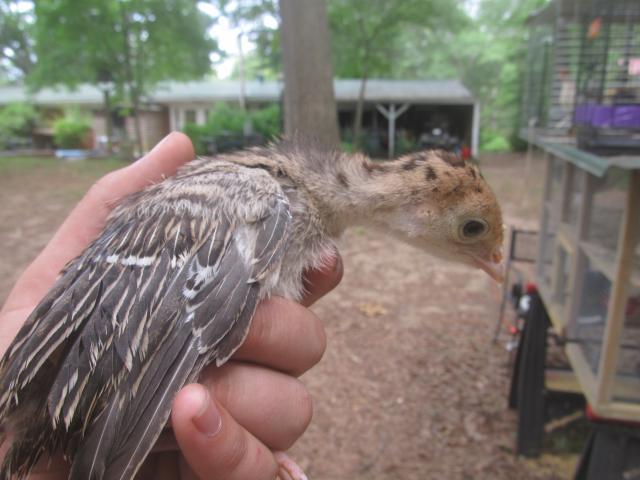 sexing turkey poults.: http://www.backyardchickens.com/t/525838/sexing-turkey-poults