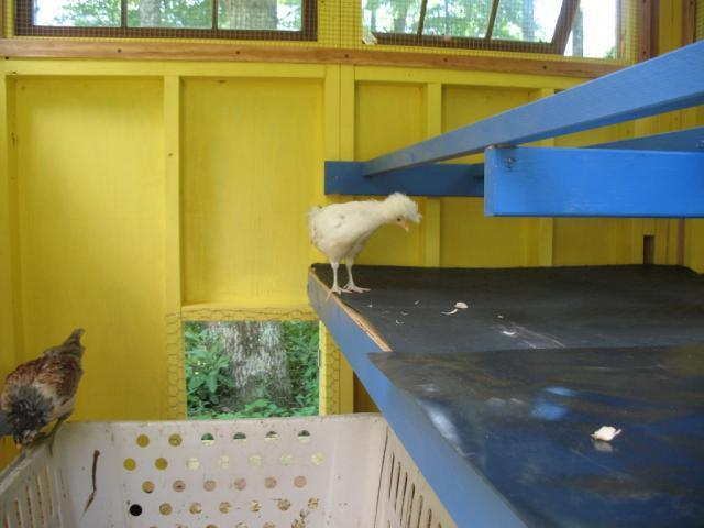 http://www.backyardchickens.com/forum/uploads/90403_new_coop.jpg