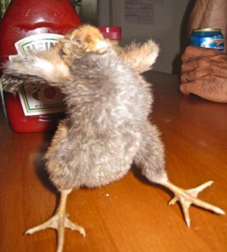 Squishy Fun Baby Chicken : Baby Chick funny Pic BackYard Chickens
