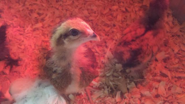 http://www.backyardchickens.com/forum/uploads/90790_2011-08-09_14-36-42_910.jpg