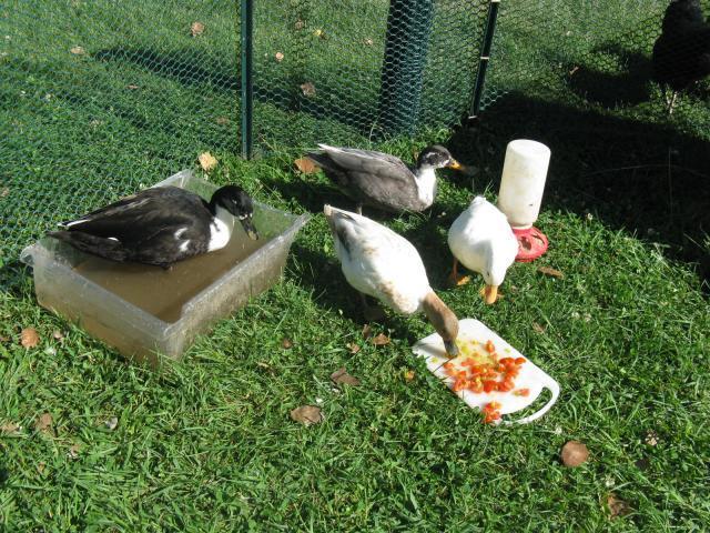 My duck habitat | BackYard Chickens