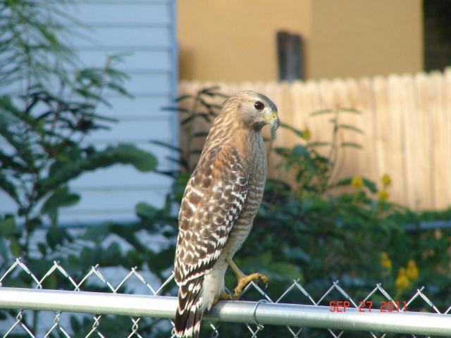 http://www.backyardchickens.com/forum/uploads/91292_coopers_hawk.jpg