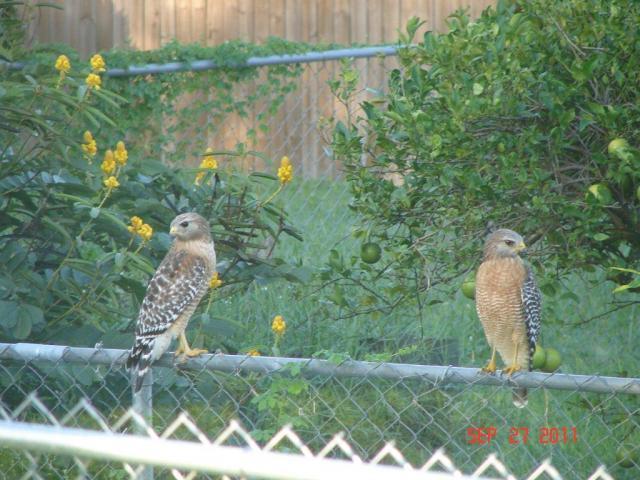 http://www.backyardchickens.com/forum/uploads/91292_juvenile_coopers_hawks2.jpg