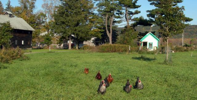 http://www.backyardchickens.com/forum/uploads/92191_chickensfleeingthecoop.jpg