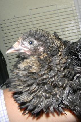 http://www.backyardchickens.com/forum/uploads/92508_dscn5254.jpg