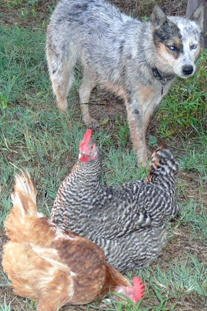 blue and Chooks