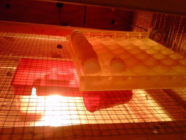 http://www.backyardchickens.com/forum/uploads/92928_nyd_tray.jpg
