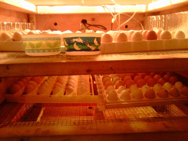 http://www.backyardchickens.com/forum/uploads/92928_nyd_trays.jpg