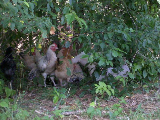http://www.backyardchickens.com/forum/uploads/92994_2011-06-03_14-15-26_925.jpg