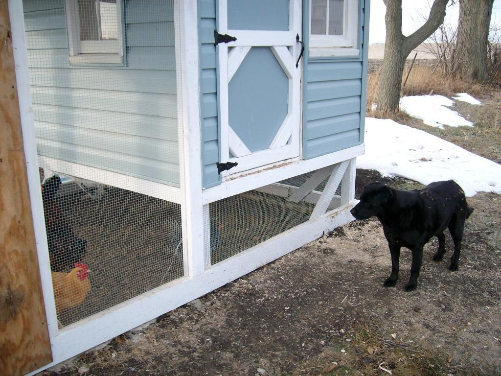 dog still trying to get the chickens
