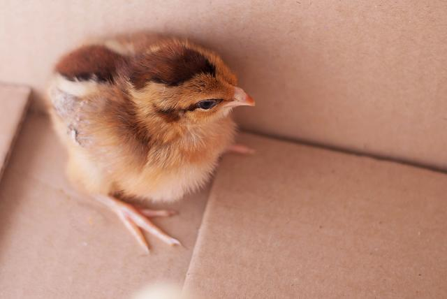 Our Wellsummer Pullet Chick