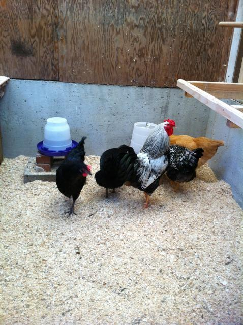 The hens are Lucy, Cleo, Nell and Zoey. The handsome rooster is Japapeño.