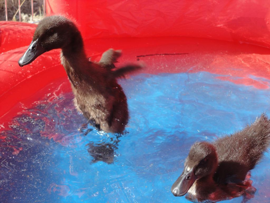 http://www.backyardchickens.com/forum/uploads/94070_dsc00829.jpg