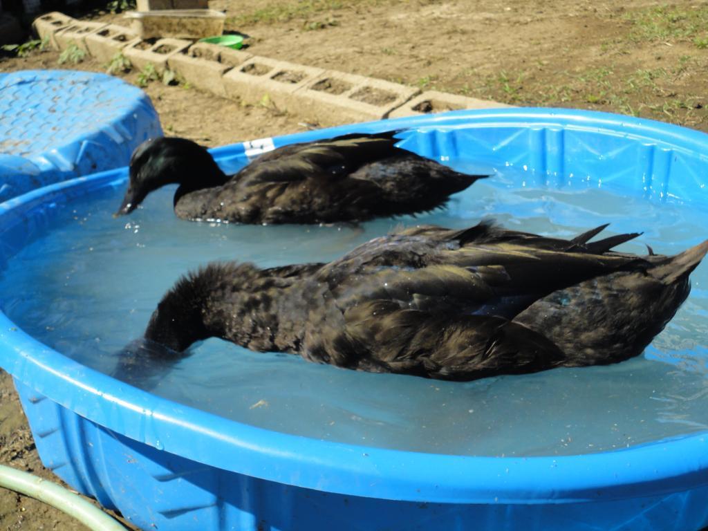 http://www.backyardchickens.com/forum/uploads/94070_dsc00862.jpg